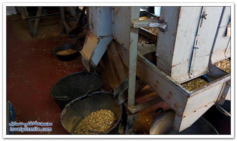 حصاد ومعالجة اللوز