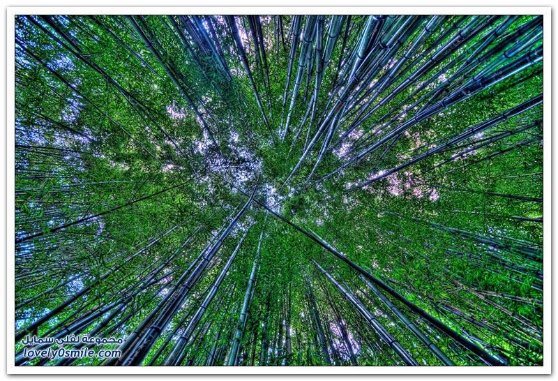 جمال غابات الخيزران