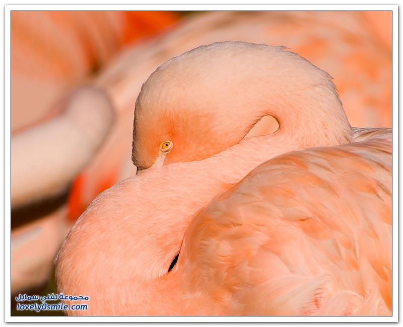 طيور النحام الوردي