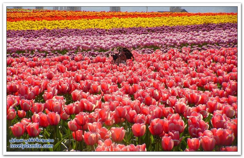 مزارع الورد في هولندا