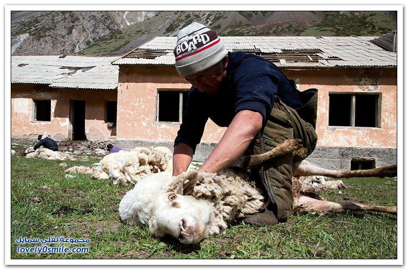 قص شعر الأغنام في قرغيزستان