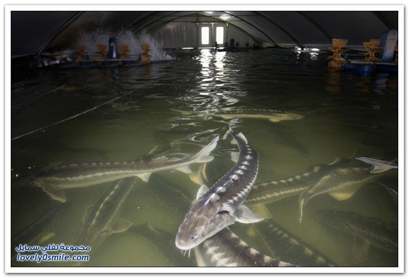 كافيار سمك الحفش الذهب الأسود