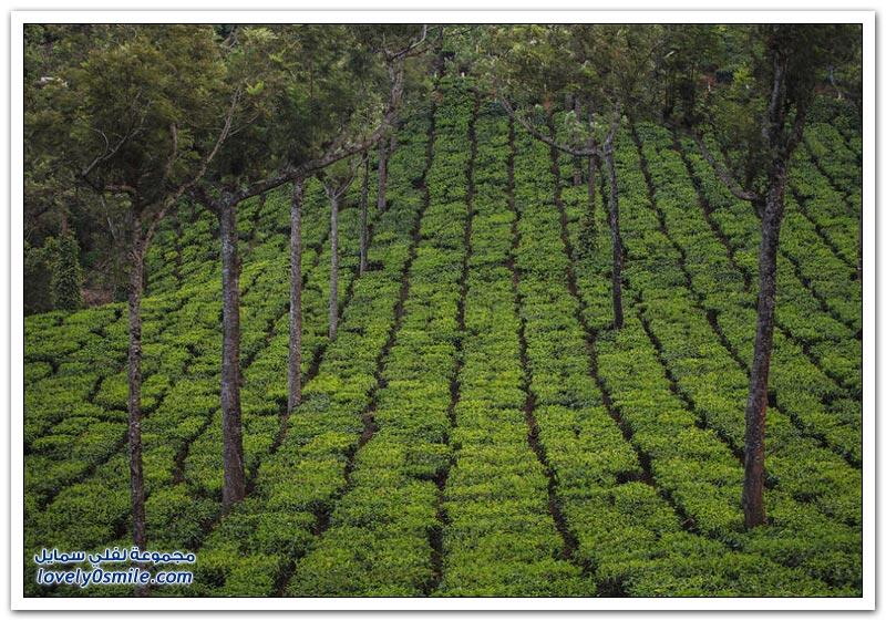 مزارع الشاي في بلدة مونار بولاية كيرلا الهندية