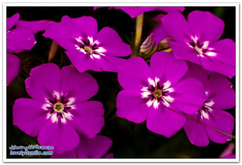 الزهور البرية في ولاية تكساس
