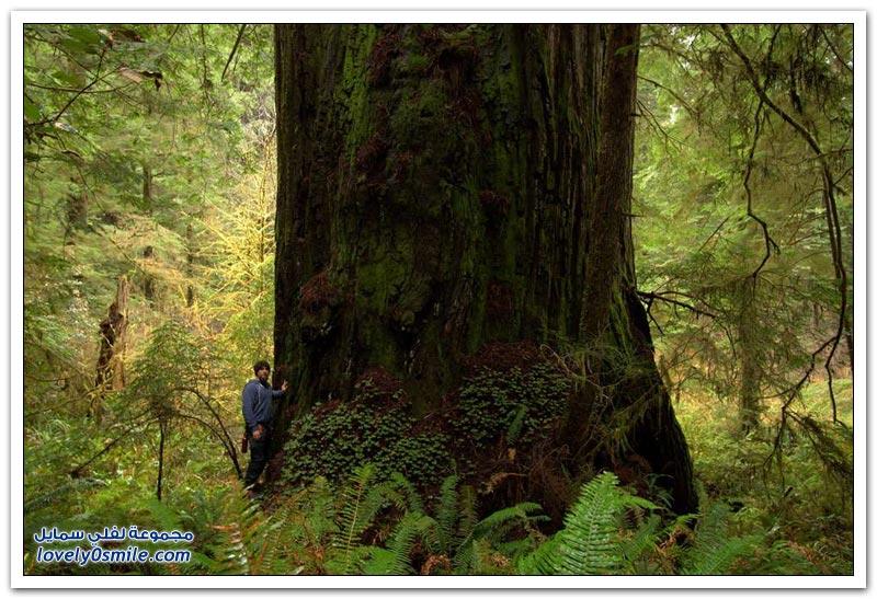 الأشجار الضخمة في غابات كاليفورنيا