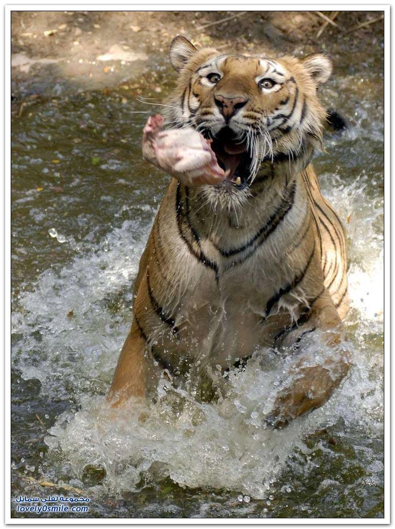 النمور الهندية