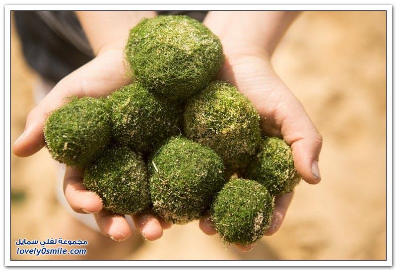 كرات خضراء غريبة على شواطئ سيدني