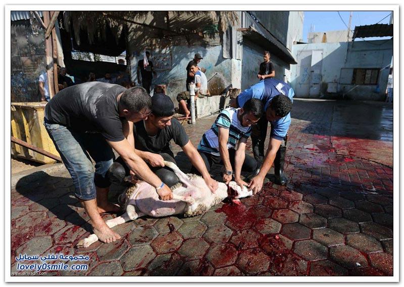 ذبح الأضاحي في بعض دول العالم 1435هـ