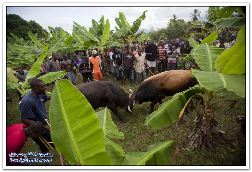 مصارعة الثيران في هاييتي