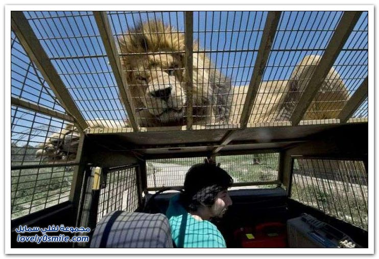 تجربة مثيرة وشيقة مع الأسود في حديقة حيوان في شيلي