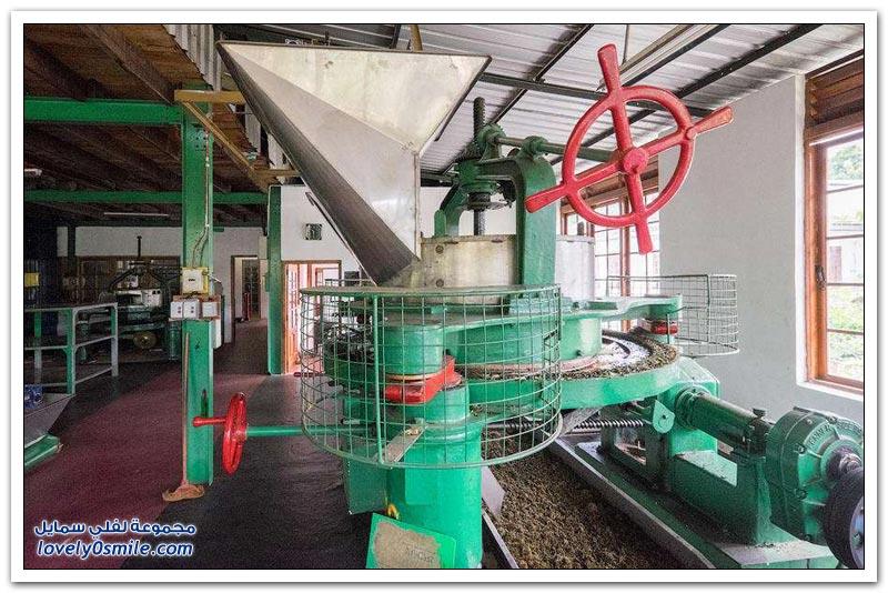 مصنع شاي في الهند