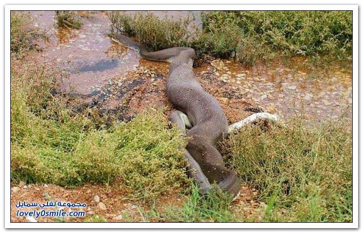 ثعبان يقتل تمساح ويبتلعه