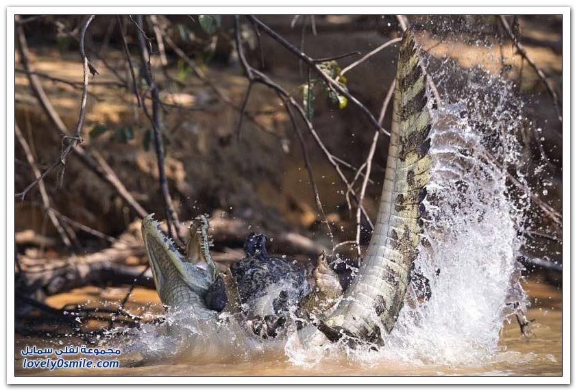 معركة شرسة بين نمر (الجاكوار) وتمساح