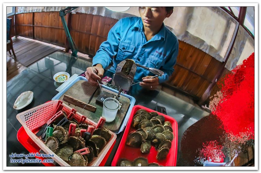 كيفية زراعة واستخراج اللؤلؤ في فيتنام