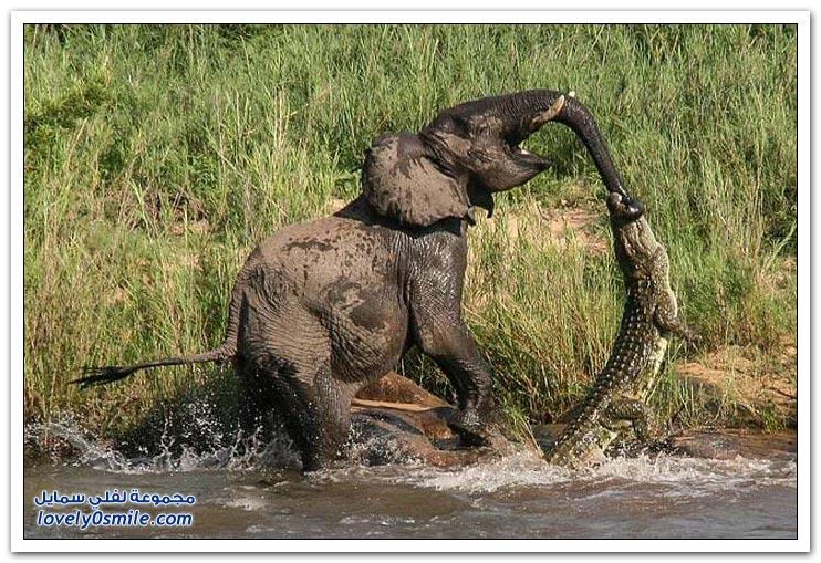 فيل ينجو من هجوم تمساح