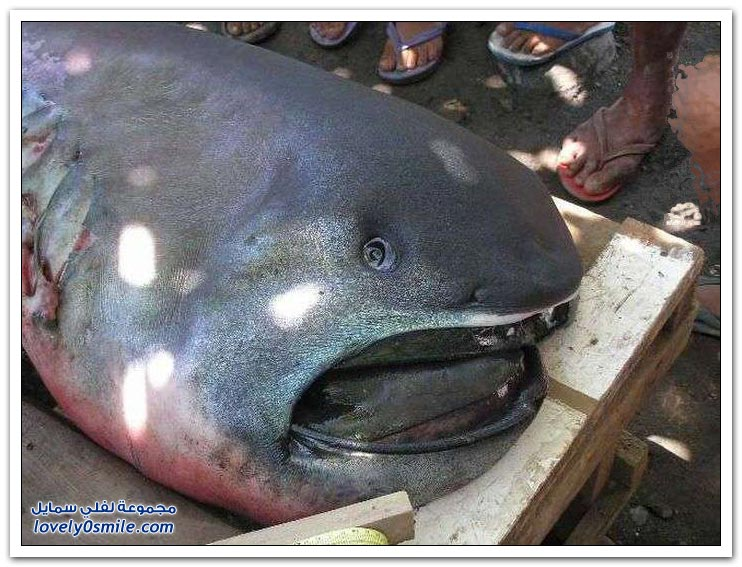 الأمواج تجرف سمكة قرش نادرة على شاطئ في الفلبين