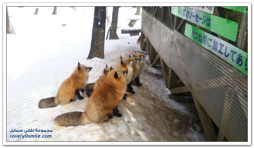 قرية للثعالب في اليابان