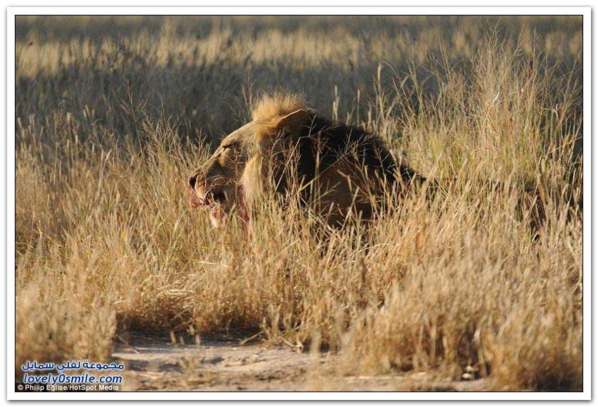 شوكة من حيوان النيص تدخل في أنف أسد