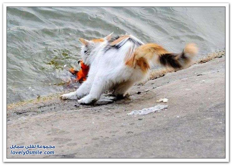 قطة تصطاد سمكة