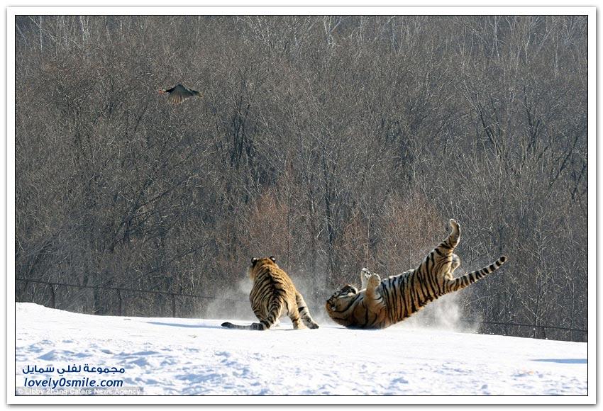 نمر يُحاول صيد طير