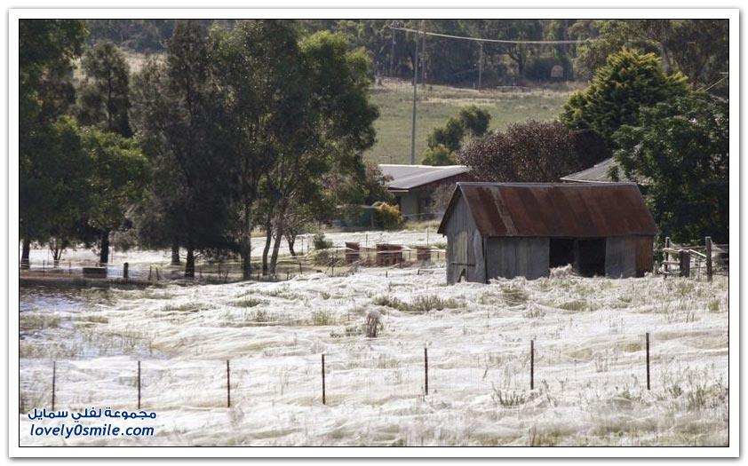 ملايين العناكب تغزو مدينة غولبروم الأسترالية
