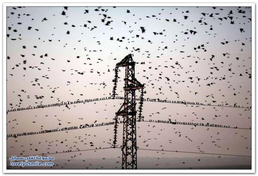 طائر الزرزور في فلسطين المحتلة