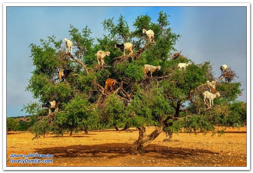 ظاهرة تسلق الماعز لشجرة الأركان الفريدة في المغرب