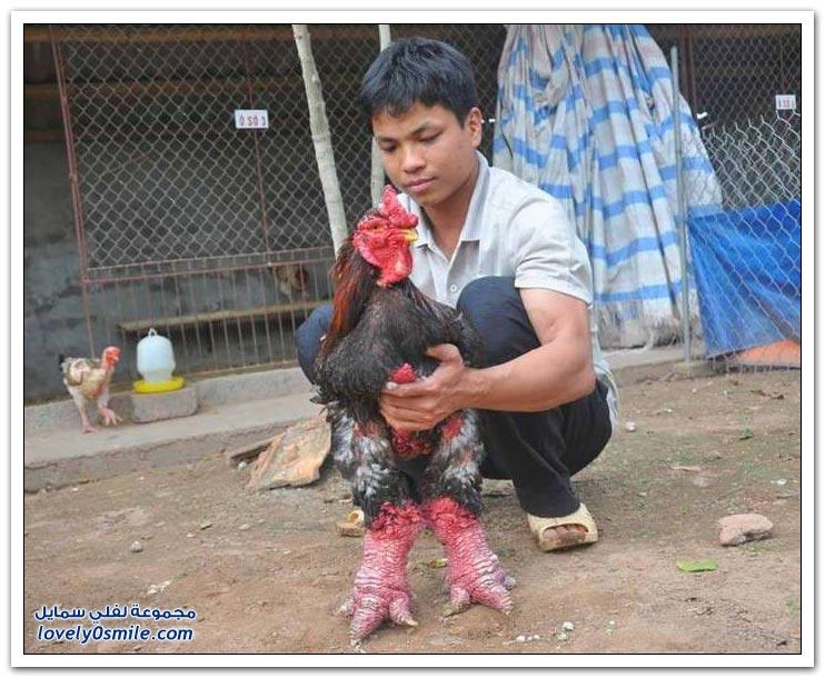 الدجاج ذو الأرجل العملاقة أغرب نوع دجاج في العالم