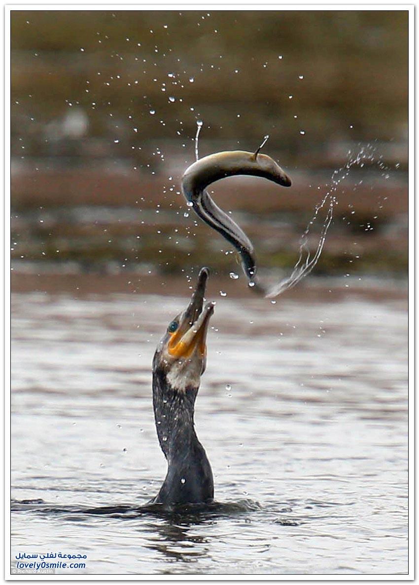 معركة حياة أو موت بين طائر الغاق وثعبان الماء