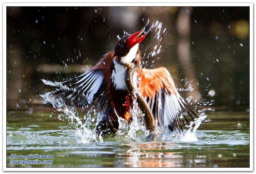 معركة مثيرة بين طائر الرفراف وثعبان الماء