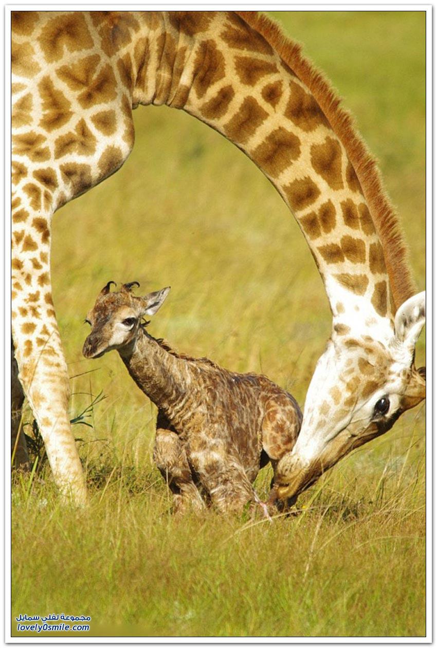 ولادة زرافة