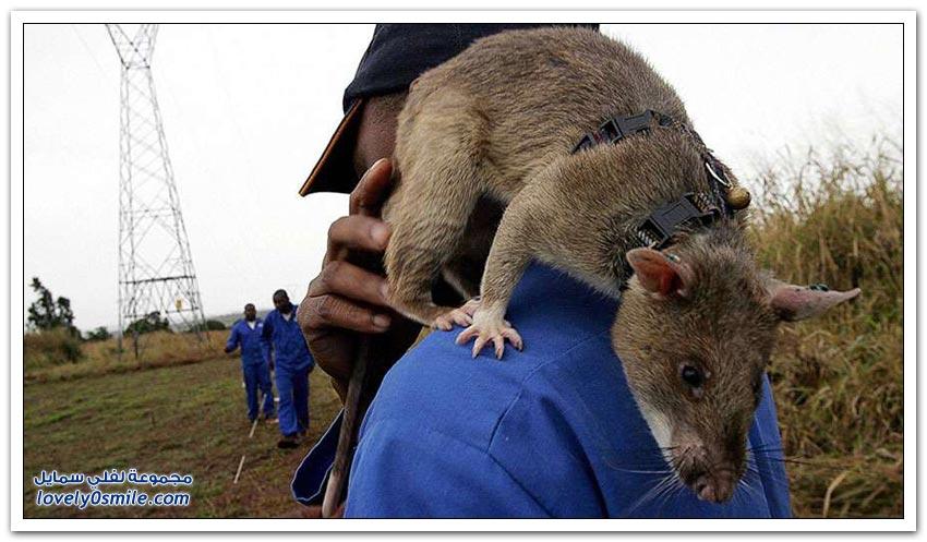 استخدام الفئران للكشف عن الألغام
