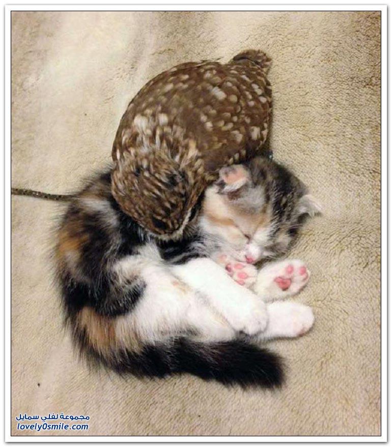 قطة صديقة بومة