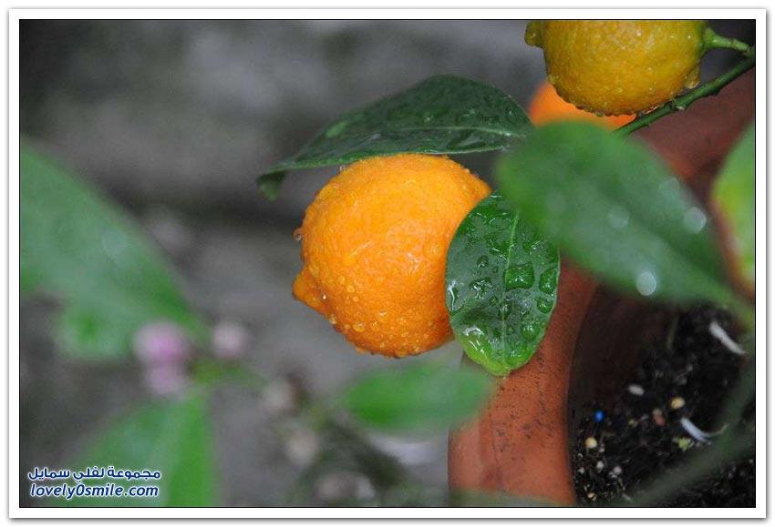 الفواكه والخضروات الهجينة الغير معروفة عند كثير من الناس
