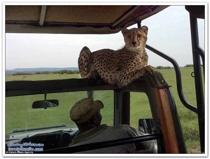 تخيل نفسك وجهاً لوجه مع حيوان الفهد