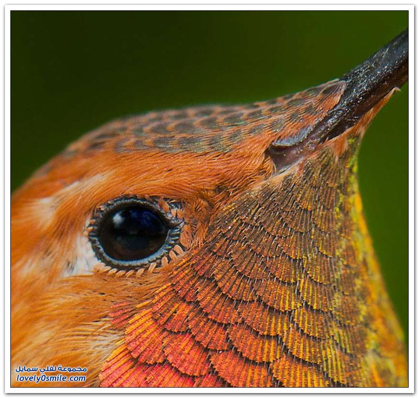 صور الطيور الطنانة عن قرب والتي تبين جمال هذا الطائر
