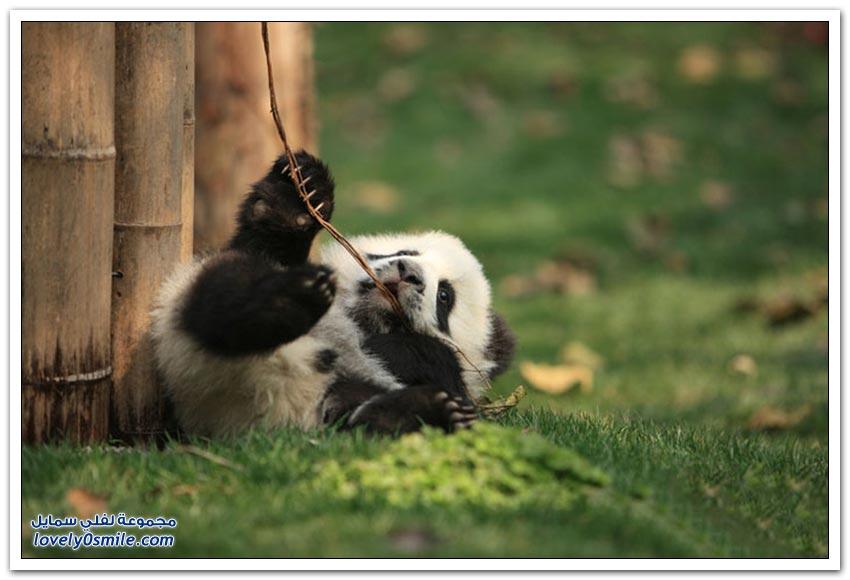 روضة للباندا في مدينة تشنغدو الصينية