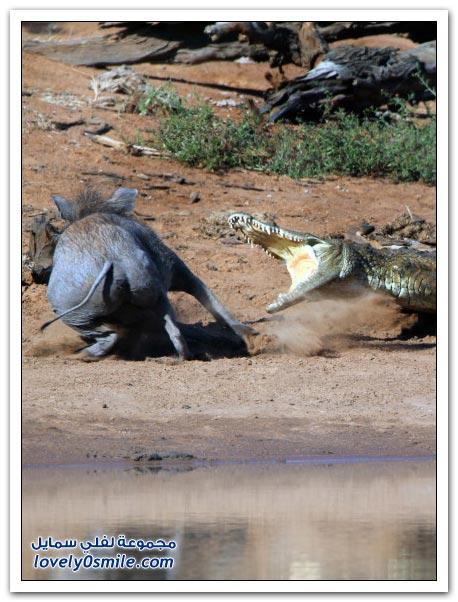 خنزير بري يتحرش بتمساح