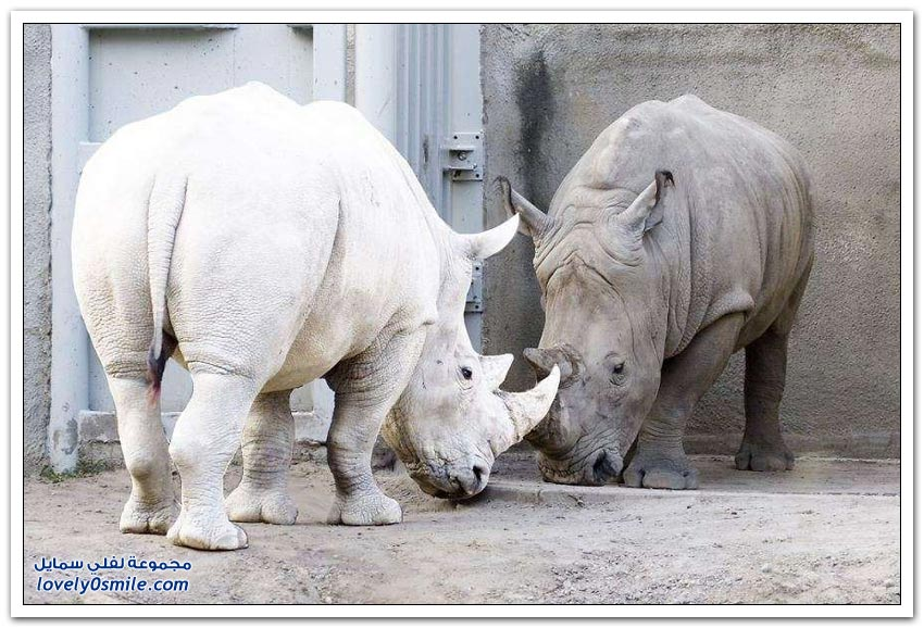 الحيوانات ذات اللون الأبيض