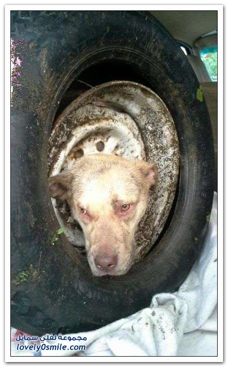 إنقاذ كلب عالق في جنط سيارة