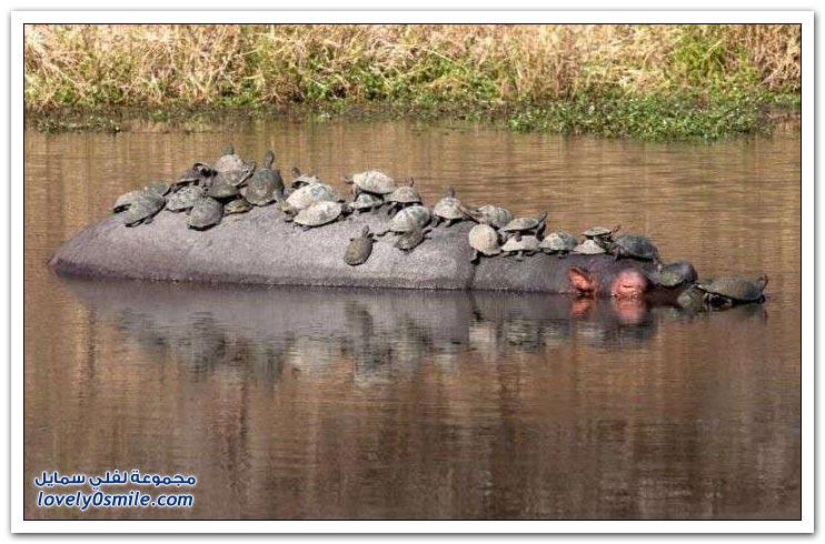 سلاحف تستخدم فرس النهر كسفينة