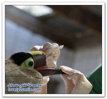 صناعة منقار صناعي لطائر الطوقان