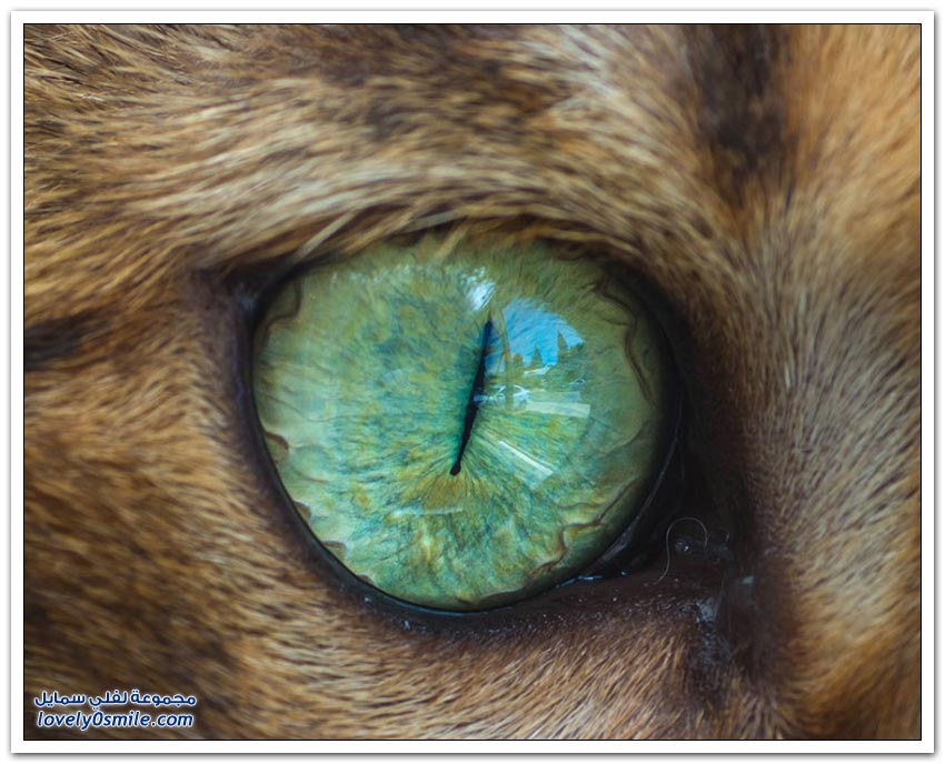 عيون القط