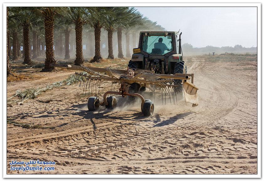 كيفية زراعة وجمع التمور في فلسطين المحتلة