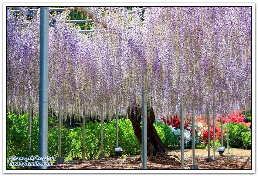 أشجار الوستارية الرائعة في اليابان