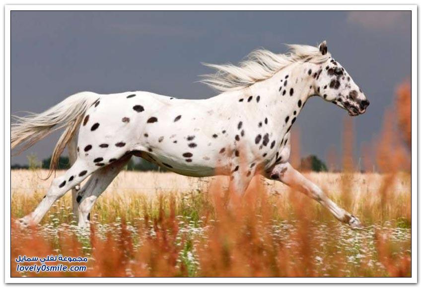 سلالات الخيول الأكثر جمالاً