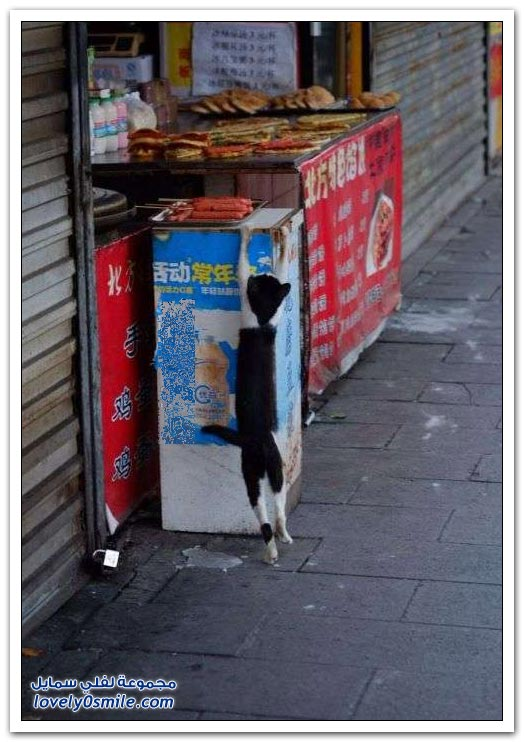 القط الحرامي