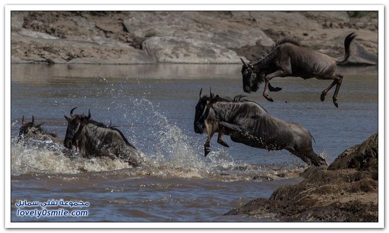 هجرة البقر الإفريقي