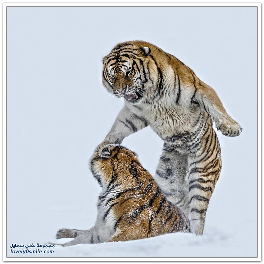 أفضل اللقطات من الحياة البرية