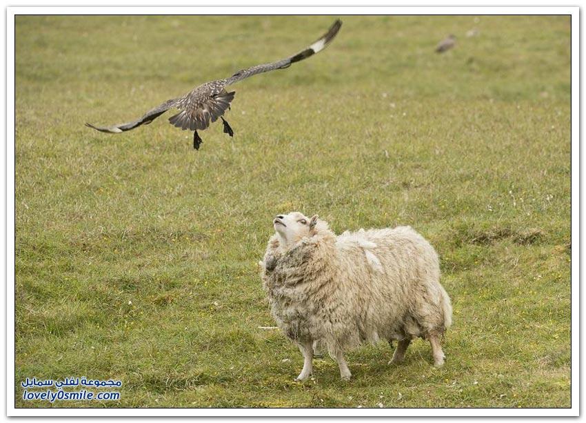 طائر يحمي صغاره من الغنم ويهاجمها